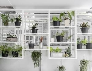 Arrangement of hanging houseplants in black pots on a white wall mounted shelf unit