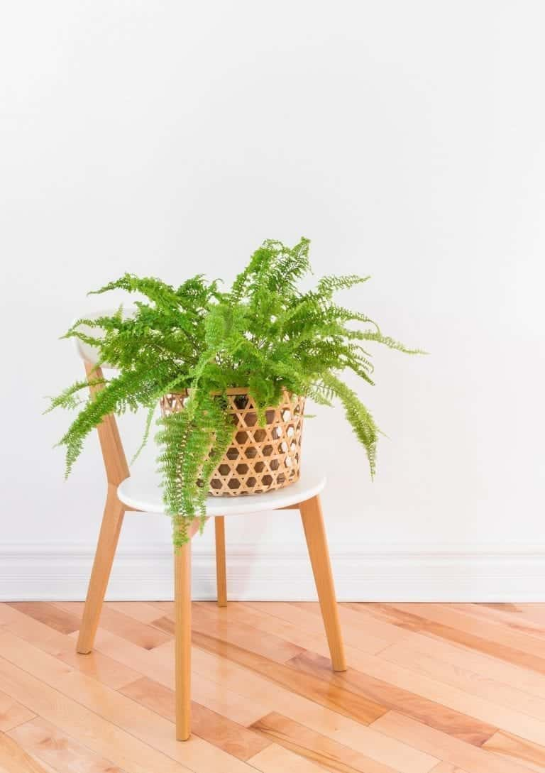 Fern in wooden basket planter on a white chair