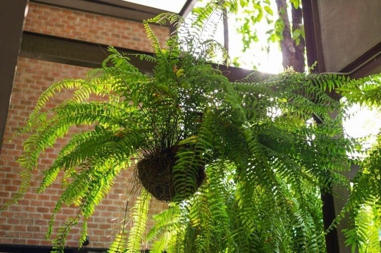 Hanging Green Fern
