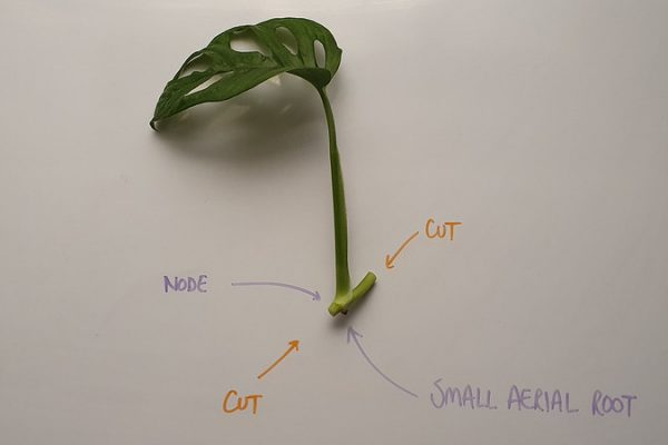 An ideal Monstera adansonii cutting
