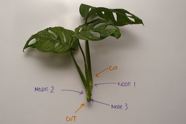 Testing a Monstera adansonii cutting with multiple nodes