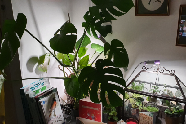 Our own Vogek Grow Lamp provides light to a terrarium and a large Monstera